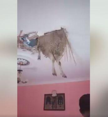 Mouton algérie